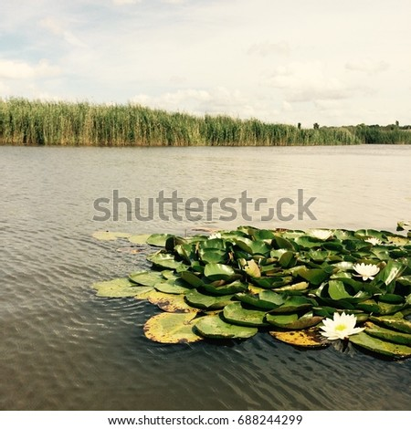 Lilly pads and reeds on a waterway on a sunny day