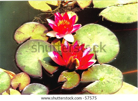 lilly pads in bloom - stock photo