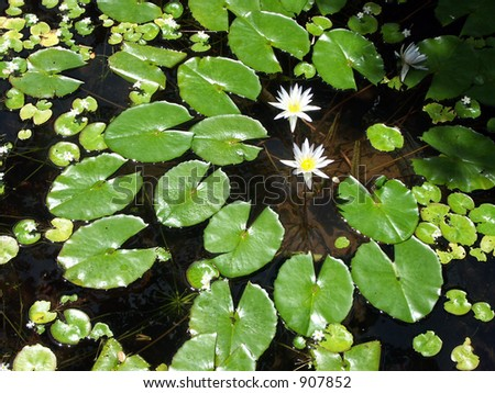 Lilly Pond - stock photo
