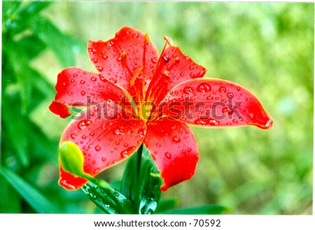Lily After the Rain - stock photo