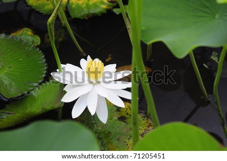 Lily and Leaves - stock photo