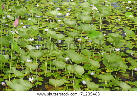 Lily Convention - stock photo