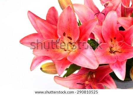 Lily fantasy - stock photo