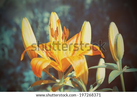 Lily flower and buds with retro filter effect.