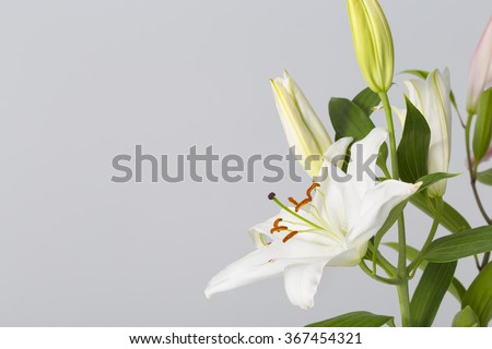Lily flower in bloom with pistils and white petals isolated on a neutral grey background - stock photo