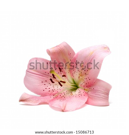 Lily Flower isolated on white - stock photo