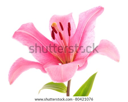 Lily flower on white background - stock photo