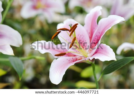 Lily flower pink is blooming in the new season in Rayong, Thailand - stock photo