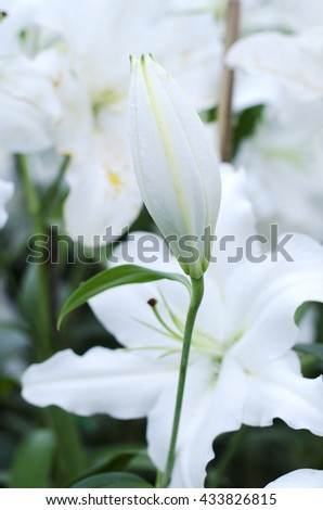 Lily flower white is blooming in the new season in Rayong, Thailand. - stock photo