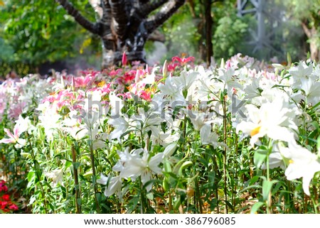 lily flowers in the garden , flowers garden - stock photo