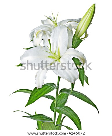 Lily isolated [with clipping path] - stock photo