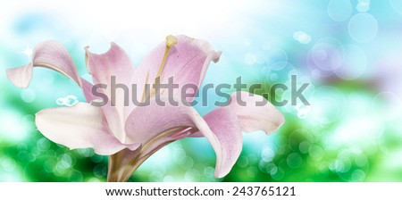 Lily.Nature - stock photo