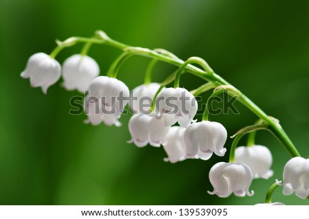 Lily of the valley closeup - stock photo