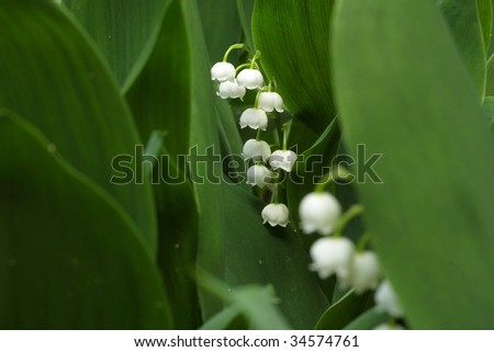 Lily of the valley - convallaria majalis - stock photo