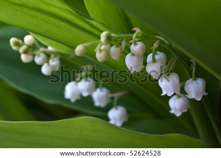 Lily of the valley (Convallaria) on spring glade - stock photo