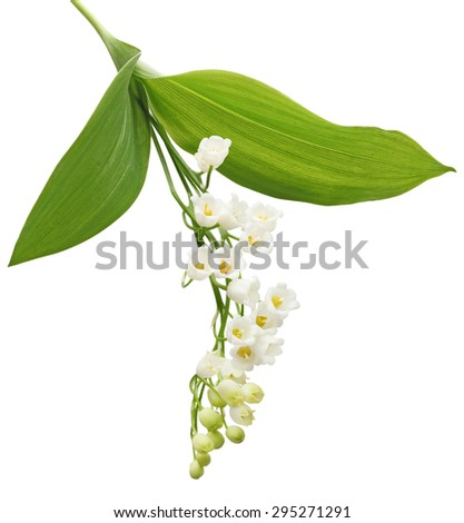 Lily of the valley flower plant isolated on white background - stock photo