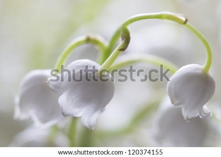 lily of the valley flowers, macro studio shot - stock photo