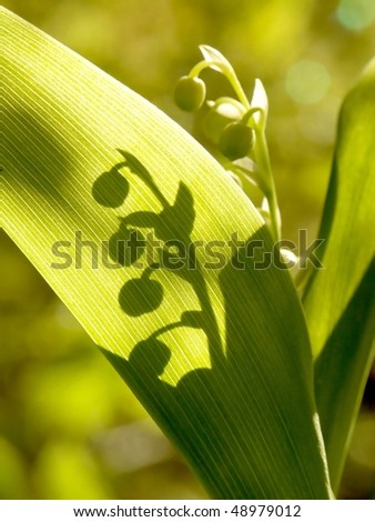 Lily of the valley growing in the forest. Focus set on a leaf with shadow. - stock photo
