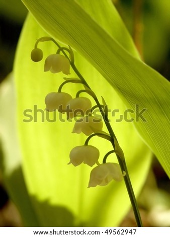 Lily of the valley hidden in the shadow of its leaf. - stock photo