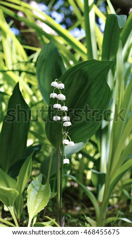 Lily of the valley in garden