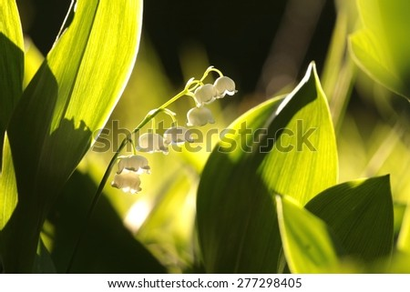 Lily of the valley lit by the rising sun. - stock photo