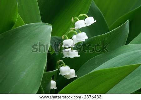 Lily of the Valley Macro Horizontal - stock photo