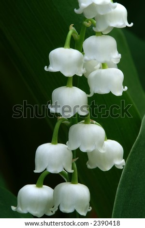 Lily of the Valley Macro Vertical - stock photo
