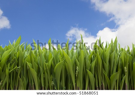 Lily of the valley with the first buds against cloudy sky. Clipping path.
