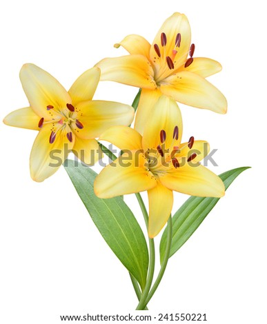 Lily on a white background. - stock photo