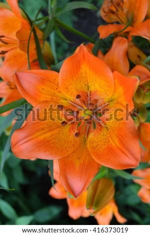 Lily orange, inflorescence. Home, kitchen garden. Lilium. Lilium bulbiferum - stock photo