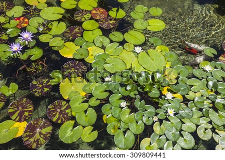 Lily pad pond with flowers and fish. - stock photo