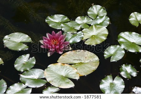 Lily Pads and Flower - stock photo