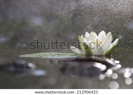 lily white autumn pond - stock photo