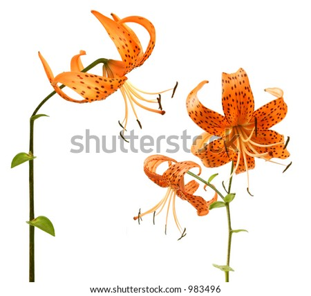 lilys isolated - stock photo