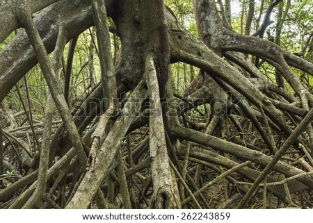 Limbs and roots of mangrove trees in Reserva Biological Nosara in Nosara, Costa Rica - stock photo