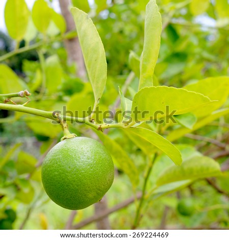 Lime - stock photo