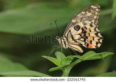 Lime Butterfly and green leaf,a beautiful butterfly on the green leaf - stock photo