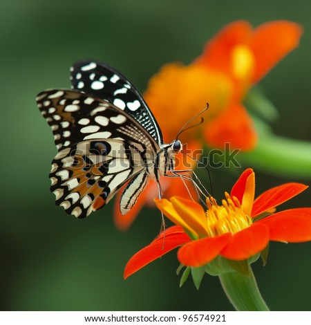 lime butterfly on a mexican sunflower - stock photo