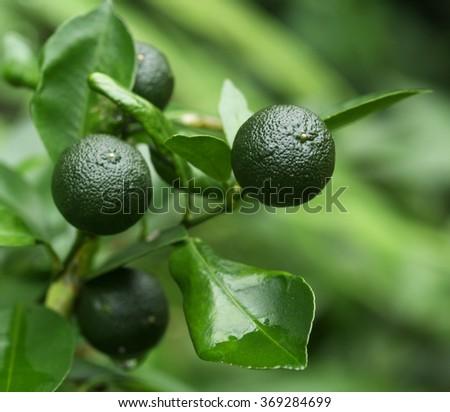 Lime fruit - stock photo