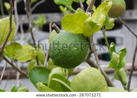 Lime green tree hanging from the branches of it.  - stock photo