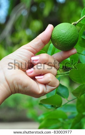 lime in female hand - stock photo