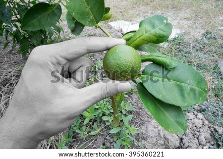 Lime in Hand Background - stock photo