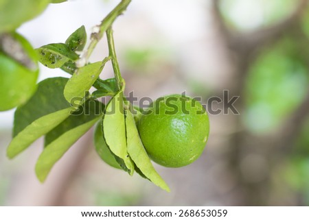 Lime on line tree - blur background - stock photo