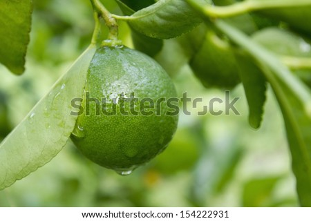 Lime on tree - stock photo