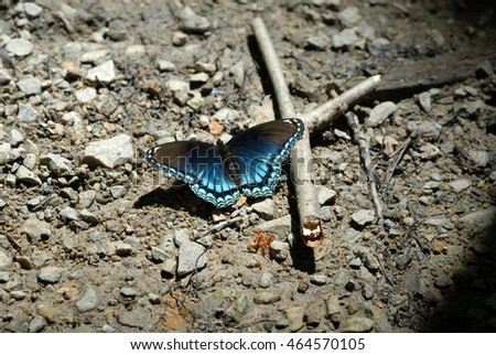 Limenitis arthemis astyanax - Red-spotted Purple butterfly