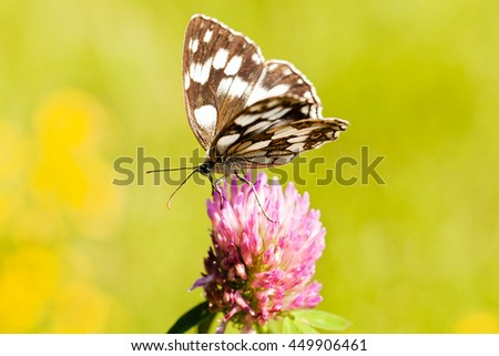 Limenitis camilla butterfly on flower with spread wings, note shallow dept of field