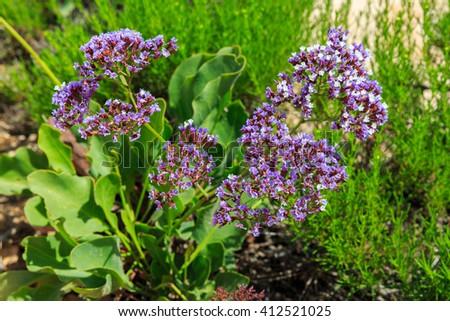 Limonium perezii (sea lavender) flowers - stock photo