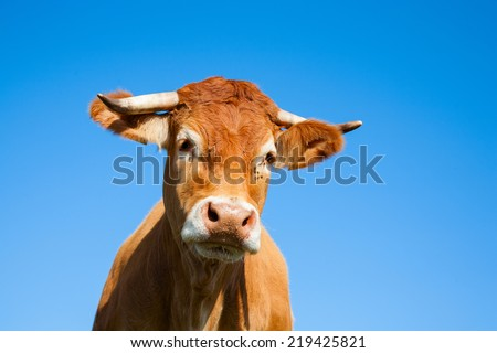 Limousin cow - stock photo