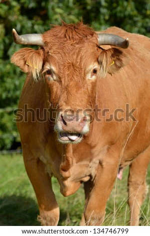 Limousin cow - Limousin cattle are a breed of highly muscled beef cattle originating from the Limousin region of France - stock photo