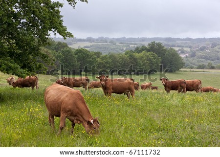 Limousin cows - stock photo